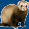 ferret
